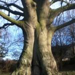 Glastonbury tree